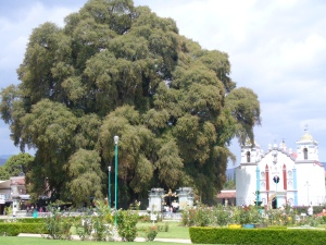 The venerable Tree of Tule
