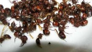 Chicatanas, gourmet flying ants